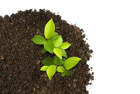 thrive: Sprout green plants growing on soil manure in the birds eye view. Stock Photo