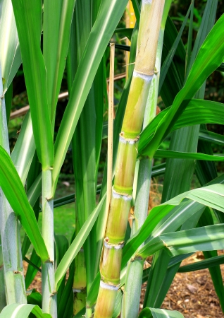 sugarcane stems and leaves photo