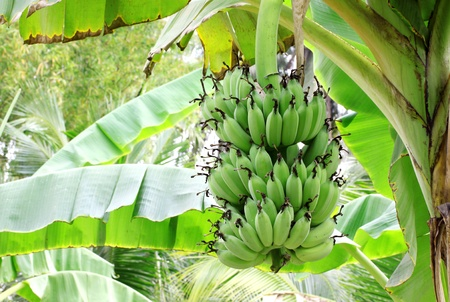 banana and banana leaves that up in the orchard Asia  photo