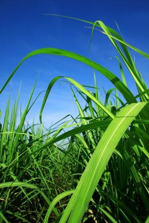 sugar cane farm: sugarcane stems and leaves.