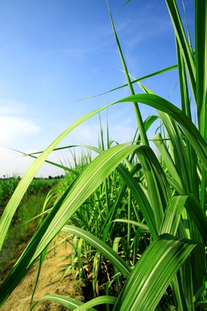 sugarcane stems and leaves. Stock Photo - 9868115