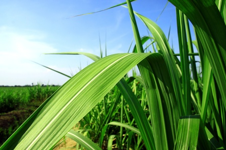 sugarcane stems and leaves.