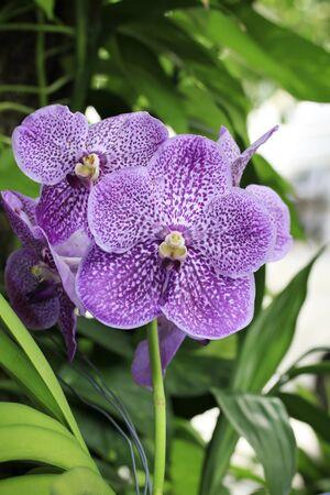 vanda: Purple Orchid, Vanda hybrids  Stock Photo