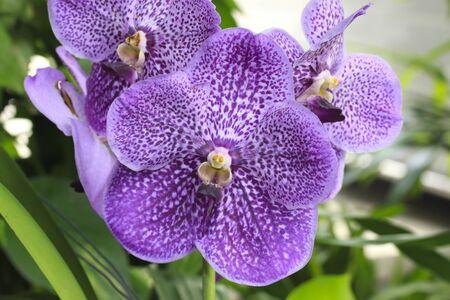 vanda: Purple Orchid