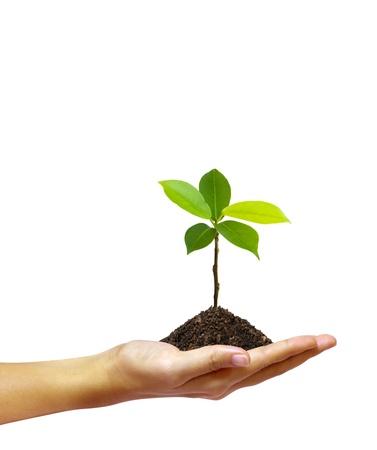 白い背景で隔離の手で成長している緑の苗