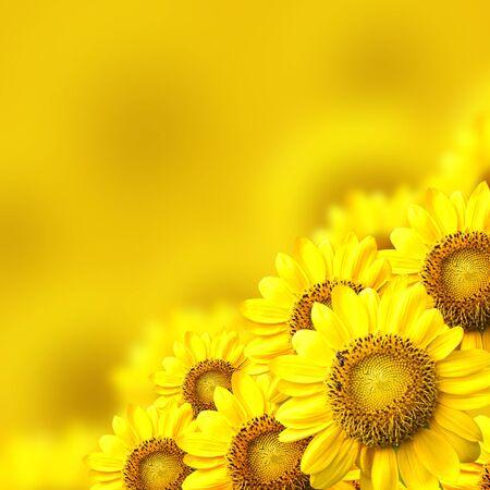 girasol: girasol de fondo amarillo