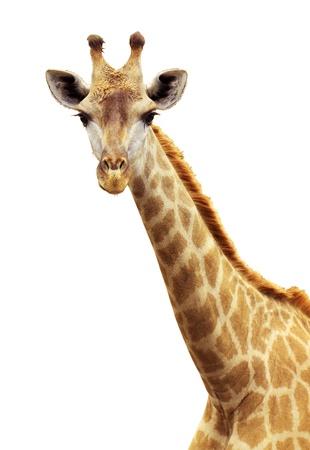 jirafa fondo blanco: cara de jirafa en segundo plano del zool�gico aislado  Foto de archivo
