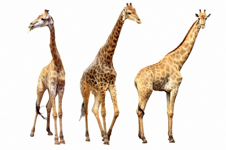 brindled: giraffes females and males isolated  Stock Photo