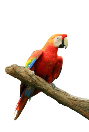 Red isolated parrot  photo