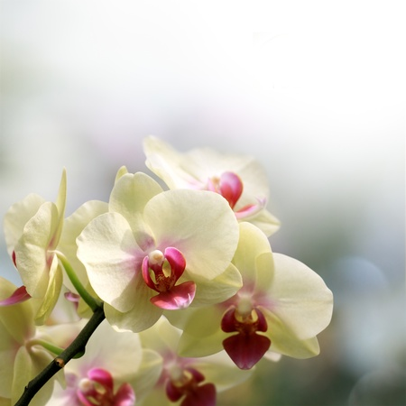 Beautiful orchid cream and pink photo