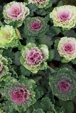 Colorful vegetable cabbage in the garden  photo