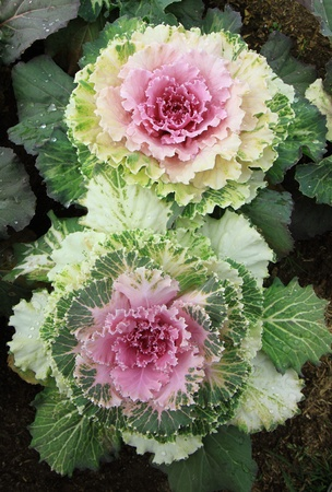 two vegetable cabbage in the garden  photo