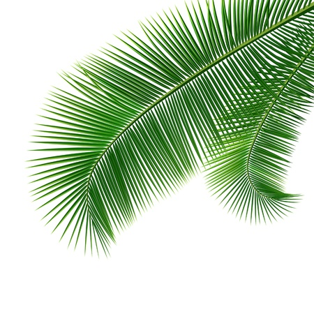 palm oil: Coconut leaves isolated on white background