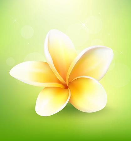 plumeria flower: Plumeria flower on nature background Illustration