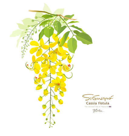 feuille arbre: Fleur nationale de la Tha�lande Cassia Fistula Illustration