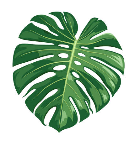Monstera Deliciosa leaf vector, realistic design isolated on white background, Eps 10 illustration Vector Illustration