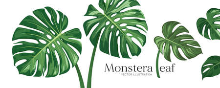 Monstera leaf vector, realistic design collections banner isolated on white background, Eps 10 illustration Ilustração