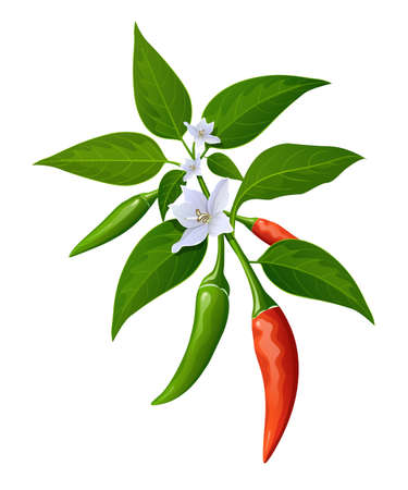 Chili peppers red and green fresh with leaves and flower chili realistic design, isolated on white background, Eps 10 vector illustration Ilustração