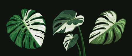 Monstera leaves spotted, collections design, on black background Eps 10 vector illustration Ilustração