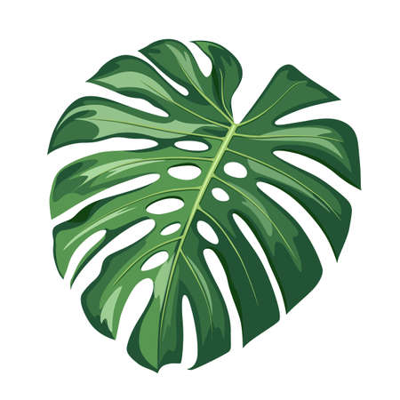Monstera green leaf, realistic design isolated on white background, vector Eps 10 illustration