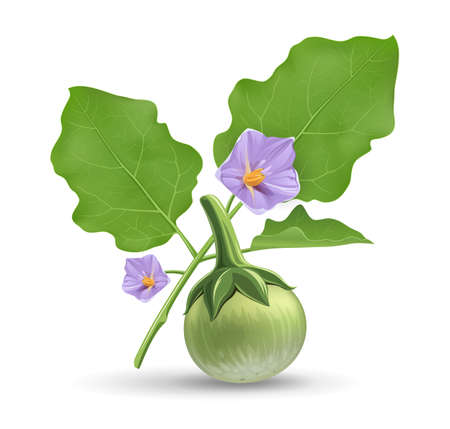 Thai eggplant and green leave, with purple flower realistic design, isolated on white background, Eps 10 vector