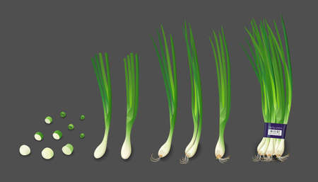 Spring onions fresh and spring onions shredded collections, design isolated on white background, Eps 10 vector illustration Ilustração