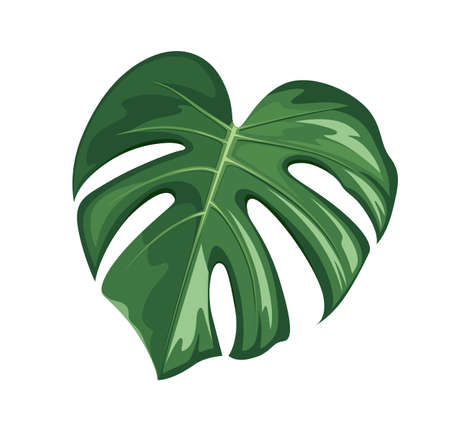 Monstera leaf, realistic design isolated on white background, vector Eps 10 illustration Ilustração