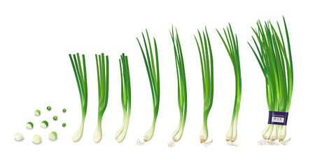 Spring onions collections, isolated on white background, vector illustration Vetores