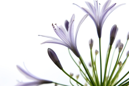lirio blanco: Lily p�rpura