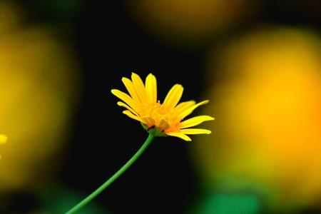 filed: Yellow daisy