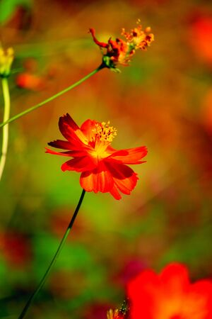 filed: Red cosmos
