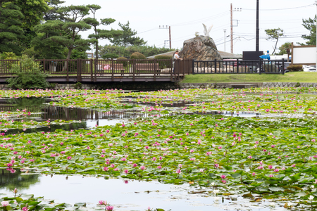 Is the water lily pond, taken in Hitachi city, Ibaraki Prefecture