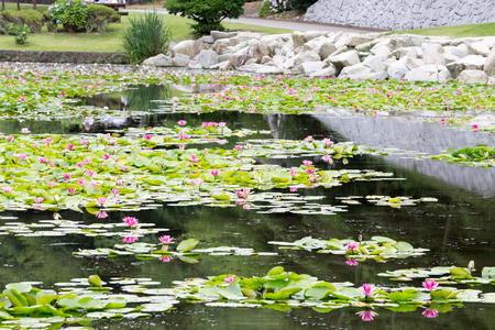 Taken in July in Hitachi city, Ibaraki Prefecture, the water lily pond 写真素材