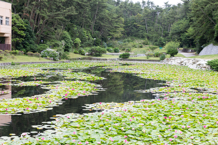 Is the water lily pond in Hitachi city, Ibaraki Prefecture, taken July
