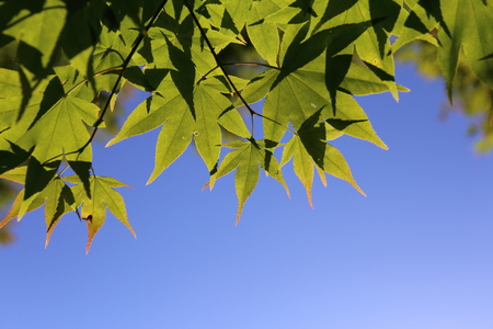 Maple leaves in early summer.