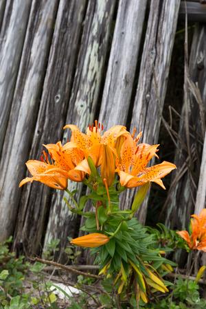 Lily flower 写真素材