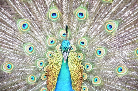 showoff: peacock and his colorful feather fully opened