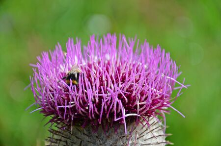 a bee sucking nectar of purple thistle photo