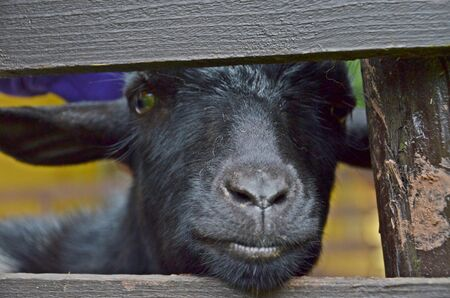 poking: black goat behind the fence poking snout