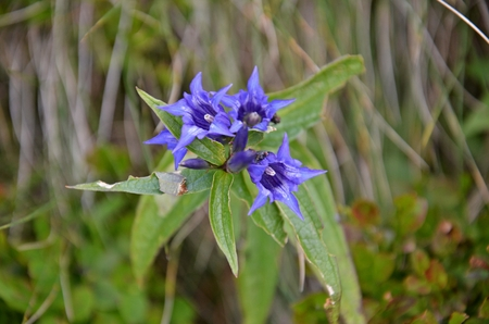 gentian flower: detail of gentian, protected flower in slovakian low tatras mountain