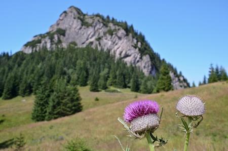 mala fatra: slovakian Mala Fatra mountain range with detail of purple thistle