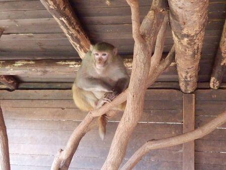 ojos tristes: macaco con ojos tristes que se sientan en una rama en cautividad