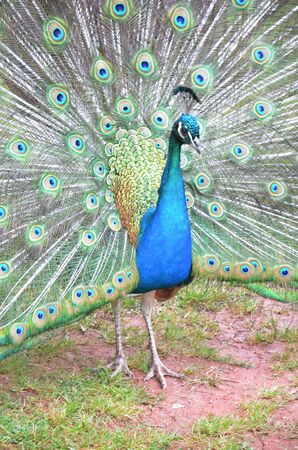 showoff: Peacock and his colorful feather fully opened Stock Photo