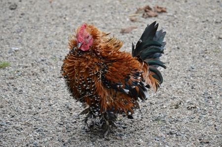 shaggy: brown chicken with shaggy legs on the gravel path Stock Photo