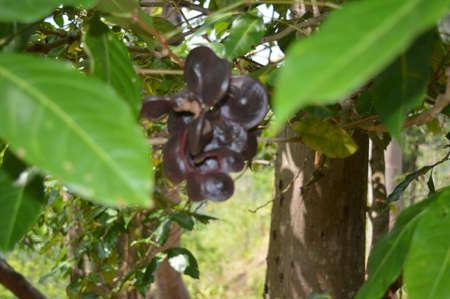 Archidendron pauciflorum tree in the field