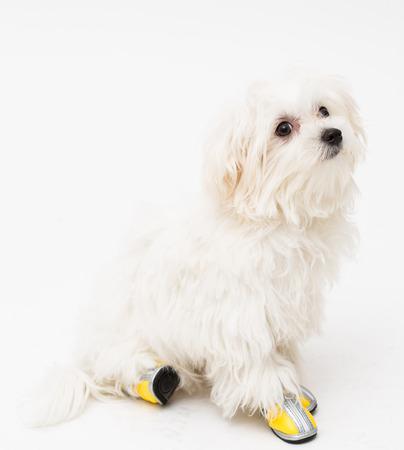 The maltese puppy dog on white background photo