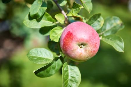 arbol de manzanas: Organic apple tree with apple. Shallow dof