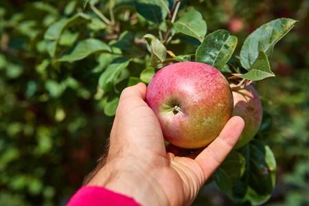 Organic apple tree with apple. Shallow dof