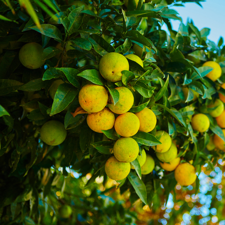 naranja arbol: El árbol de naranja orgánico. Orange Park. Kelvin superficial