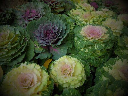 healthier: Vintage beautiful  kale  rose